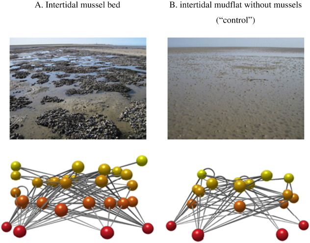 "Food webs of (A) intertidal mussel beds and (B) intertidal mudflats without mussel beds (""control""). The food web of a mudflat without mussel bed is typically simpler. Nodes represent species and lines links between species if a species is included in the diet of the species higher up in the food web. Node colors changes from red (basal species) to yellow with increasing trophic level. Note that the food web on mussel beds has a higher species richness (# nodes), link density (lines per node; L/S), but not a higher trophic level of top predators (node color). See Table 2 and Table A.2 for averages and statistics."