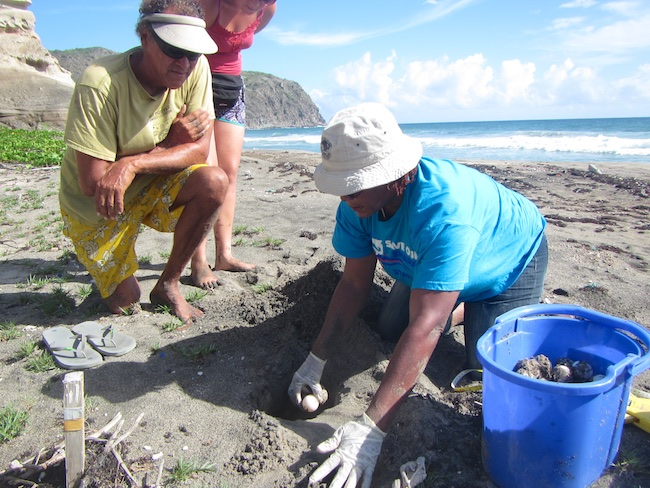 Turtle nests that are expected to be washed away after beach erosion are translocated to higher grounds closely.