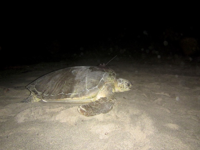 Back to the sea. Adult female green turtle on Zeelandia Beach St. Eustatius ready to rest after 1.5 hr of satellite tag processing.