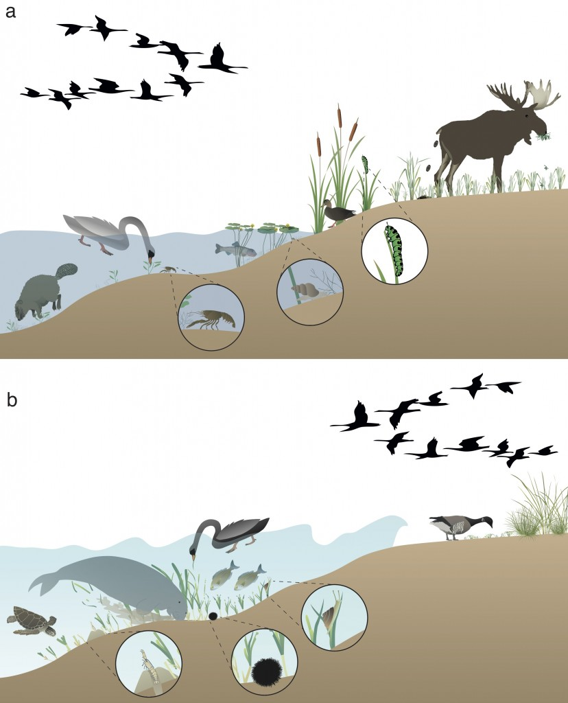 Synthesizing scheme indicating the effects of herbivores on macrophyte beds and the functioning of shallow freshwater (a) and marine (b) aquatic ecosystems. Herbivores affect plant abundance and species composition by grazing and bioturbation. Their presence alters biogeochemical cycling and primary production, they transport nutrients and propagules across ecosystem boundaries, modify habitat for other organisms and affect the level of shoreline protection by macrophyte beds.